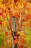Vineyard in autumn, Gaillac, Tarn, Midi-Pyrenees, France (vertical)