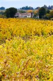 Autumn Vineyards, Montagne, Gironde, Aquitaine, France