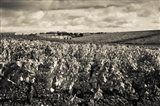 Chateau Lafite Rothschild vineyards in autumn, Pauillac, Haut Medoc, Gironde, Aquitaine, France (black and white)