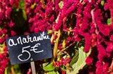 Price tag on Amaranth flowers at a flower shop, Rue De Buci, Paris, Ile-de-France, France