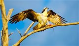 Osprey (Pandion haliaetus) with spread wings perching on a branch