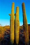 Saguaro Cactus (carnegiea gigantea) in a desert, Tucson, Pima County, Arizona, USA