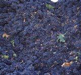 Cabernet Sauvignon Grapes in Vineyard, Wine Country, California