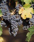 Cabernet Sauvignon Grapes, Wine Country, California