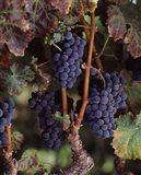 Purple Grapes, Wine Country, California
