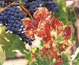 Grapes on the Vine, Wine Country, California