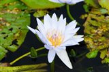 Water lily with lily pads in a pond, Isola Madre, Stresa, Lake Maggiore, Piedmont, Italy