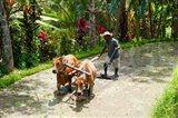 Farmer with Oxen, Rejasa, Penebel, Bali, Indonesia