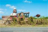 Sugar Cane being Harvested, Australia