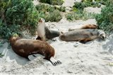 Australian Sea Lions (Neophoca cinerea) resting in sand, Seal Bay, Kangaroo Island, South Australia, Australia