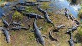 Alligators along the Anhinga Trail, Everglades National Park, Florida, USA