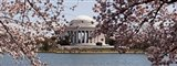 Cherry Blossom trees in the Tidal Basin with the Jefferson Memorial in the background, Washington DC