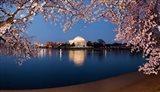 Cherry Blossom Tree with Jefferson Memorial, Washington DC