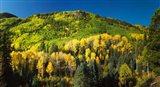 Aspen trees on mountain, Sunshine Mesa, Wilson Mesa, South Fork Road, Uncompahgre National Forest, Colorado, USA