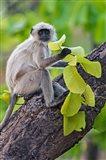 Gray Langur Monkey, Kanha National Park, Madhya Pradesh, India