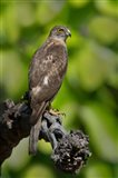 Common Buzzard, Bandhavgarh National Park, Madhya Pradesh, India