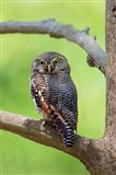Jungle Owlet, Bandhavgarh National Park, Umaria District, India