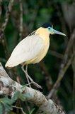 Capped Heron, Pantanal Wetlands, Brazil