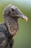 Black Vulture, Pantanal Wetlands, Brazil