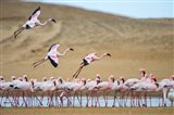 Greater Flamingos, Namibia