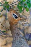 Damara Dik-Dik, Etosha National Park, Namibia