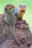 Dwarf Mongooses, Tarangire National Park, Tanzania