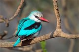 Woodland Kingfisher, Tarangire National Park, Tanzania