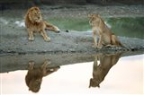 African Lion and Lioness, Ngorongoro Conservation Area, Tanzania