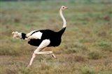 Masai Ostrich, Ndutu, Ngorongoro Conservation Area, Tanzania