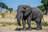African Elephant, Ndutu, Ngorongoro Conservation Area, Tanzania