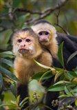 White-Throated Capuchin Monkeys (Cebus capucinus) on tree, Tortuguero, Costa Rica
