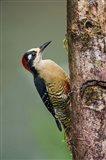 Black-Cheeked Woodpecker, Sarapiqui, Costa Rica