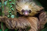 Two-Toed Sloth, Tortuguero, Costa Rica