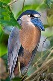 Boat-Billed Heron, Tortuguero, Costa Rica