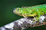 Green Iguana, Tarcoles River, Costa Rica