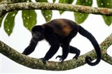 Black Howler Monkey, Sarapiqui, Costa Rica