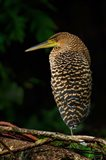 Bare-Throated Tiger Heron, Tortuguero, Costa Rica