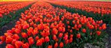 Rows of Red Tulips in bloom, North Holland, Netherlands