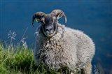 Sheep Grazing, Iceland