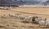 Flock of Sheep, Iceland