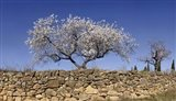Almond Blossom, Vinaros, Spain