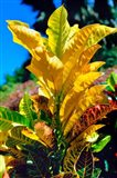 Close-Up of Multi-Colored Leaves, Tahiti, French Polynesia