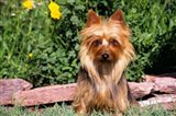 Australian Terrier In Front Of Flowers