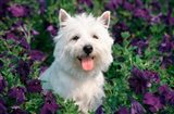 West Highland Terrier Sitting In Petunias
