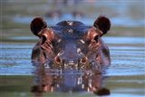 Hippopotamus Amphibius Peering Out From Water