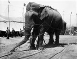 1930s Circus Elephant Draped In Chains