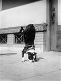 1930s Boston Terrier Performing Trick