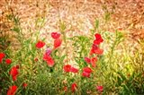 Close-up of Wilting Poppies