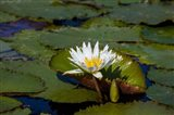 Water Lily in a Pond, Florida