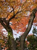 Fall Leaves on V Shaped Tree, Japan